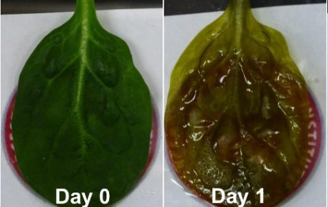Scientists grow beating heart tissue on spinach leaves