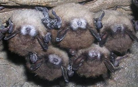 Fungus affecting bats continues to spread in U.S.