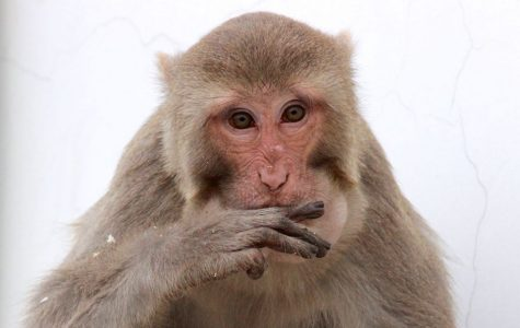 Monkey studies find a relationship between low social status & immune health
