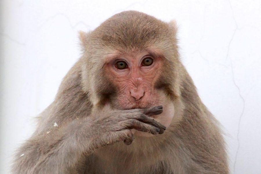 Monkey studies find a relationship between low social status & immune health