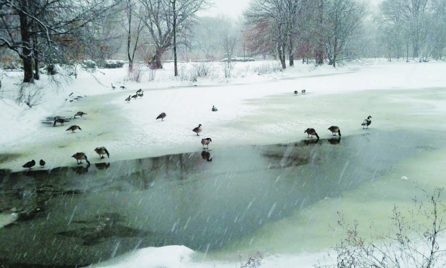 Geese and ducks took advantage of the ice in the Fens.
