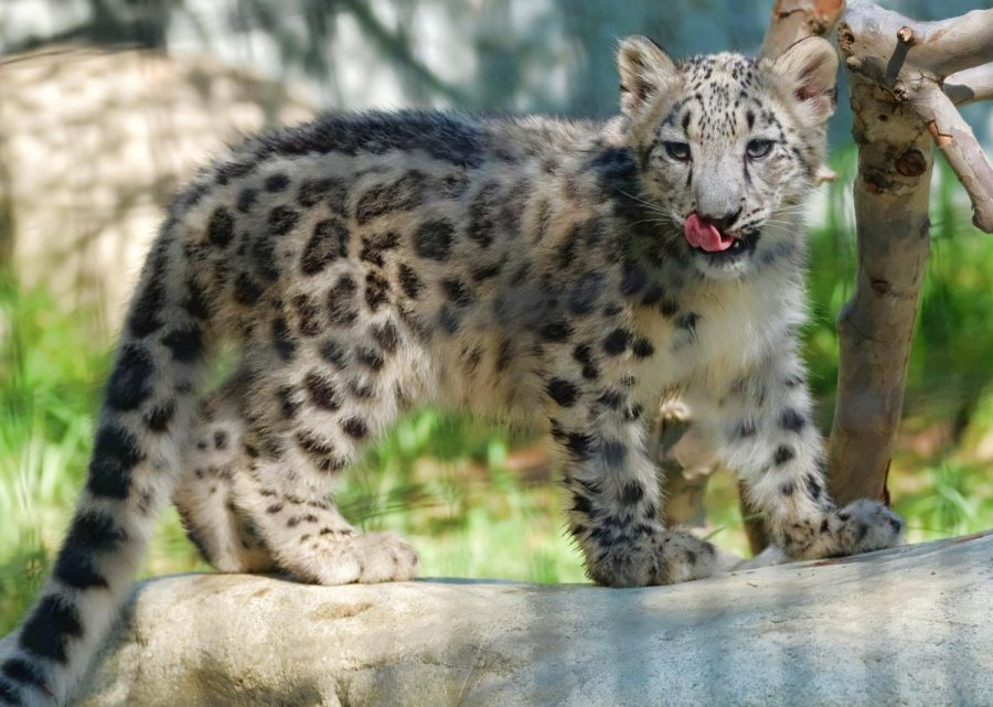 Snow leopards pounce from endangered species