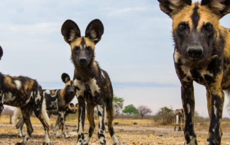 Species spotlight: African Wild Dog