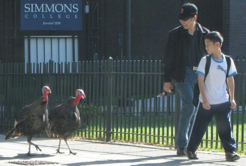 Turkeys a common sight in Boston